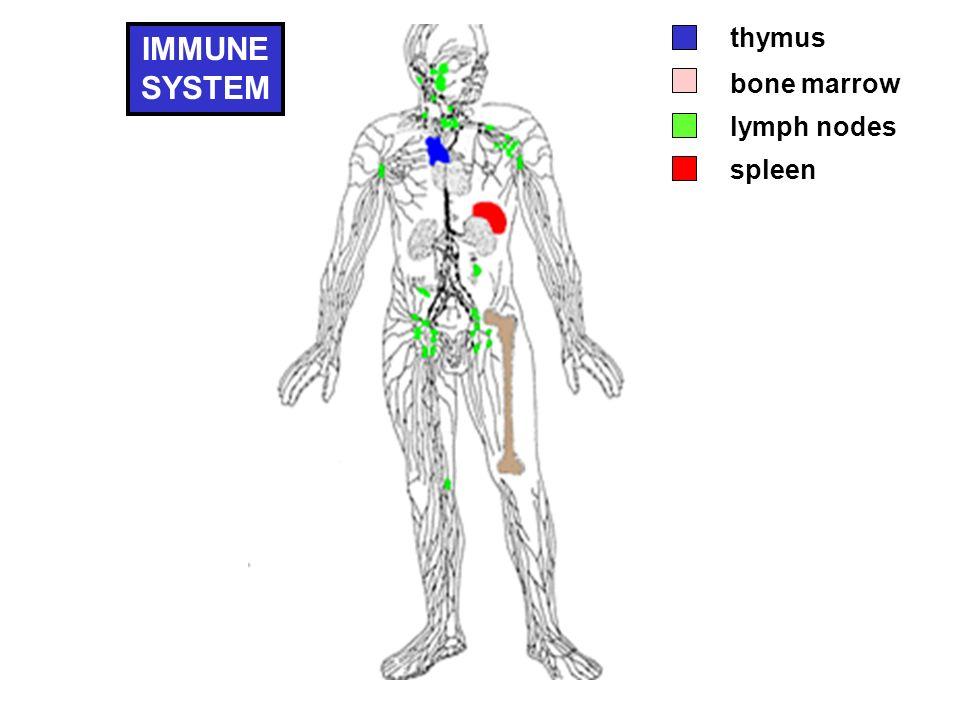 thymus bone marrow spleen lymph nodes IMMUNE SYSTEM