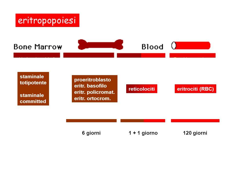eritropopoiesi staminale totipotente staminale committed proeritroblasto eritr. basofilo eritr. policromat. eritr. ortocrom. reticolociti 6 giorni1 +