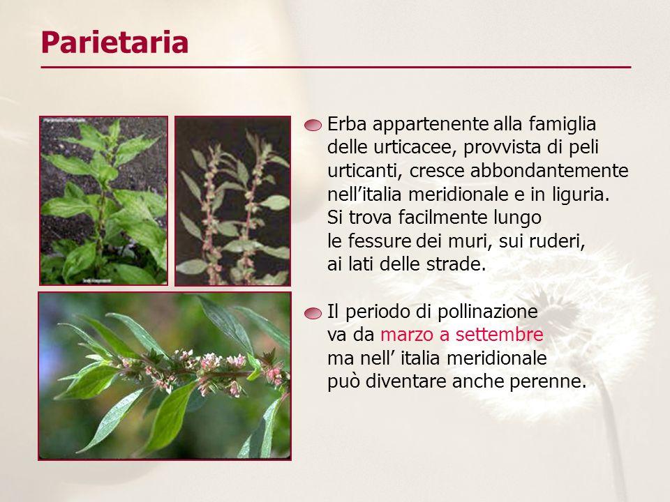 Erba appartenente alla famiglia delle urticacee, provvista di peli urticanti, cresce abbondantemente nellitalia meridionale e in liguria. Si trova fac