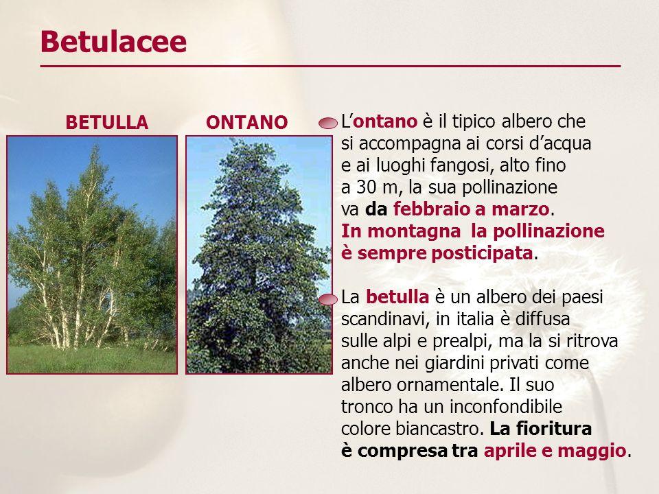 Betulacee Lontano è il tipico albero che si accompagna ai corsi dacqua e ai luoghi fangosi, alto fino a 30 m, la sua pollinazione va da febbraio a mar