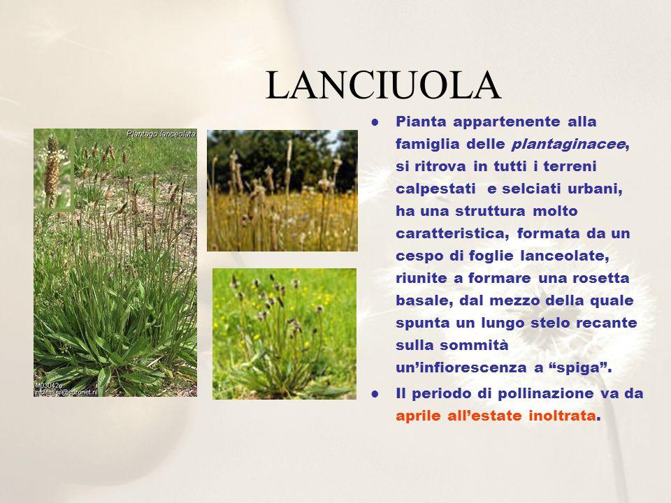 Pianta appartenente alla famiglia delle plantaginacee, si ritrova in tutti i terreni calpestati e selciati urbani, ha una struttura molto caratteristi