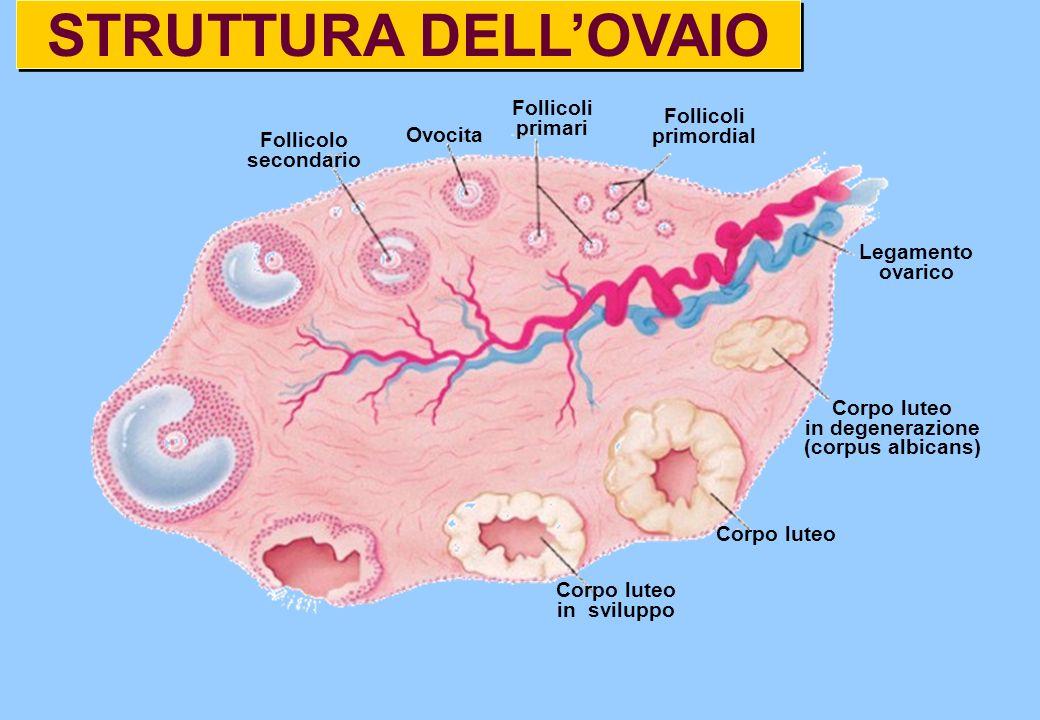 STRUTTURA DELLOVAIO Corpo luteo in sviluppo Corpo luteo in degenerazione (corpus albicans) Follicolo secondario Follicoli primari Follicoli primordial