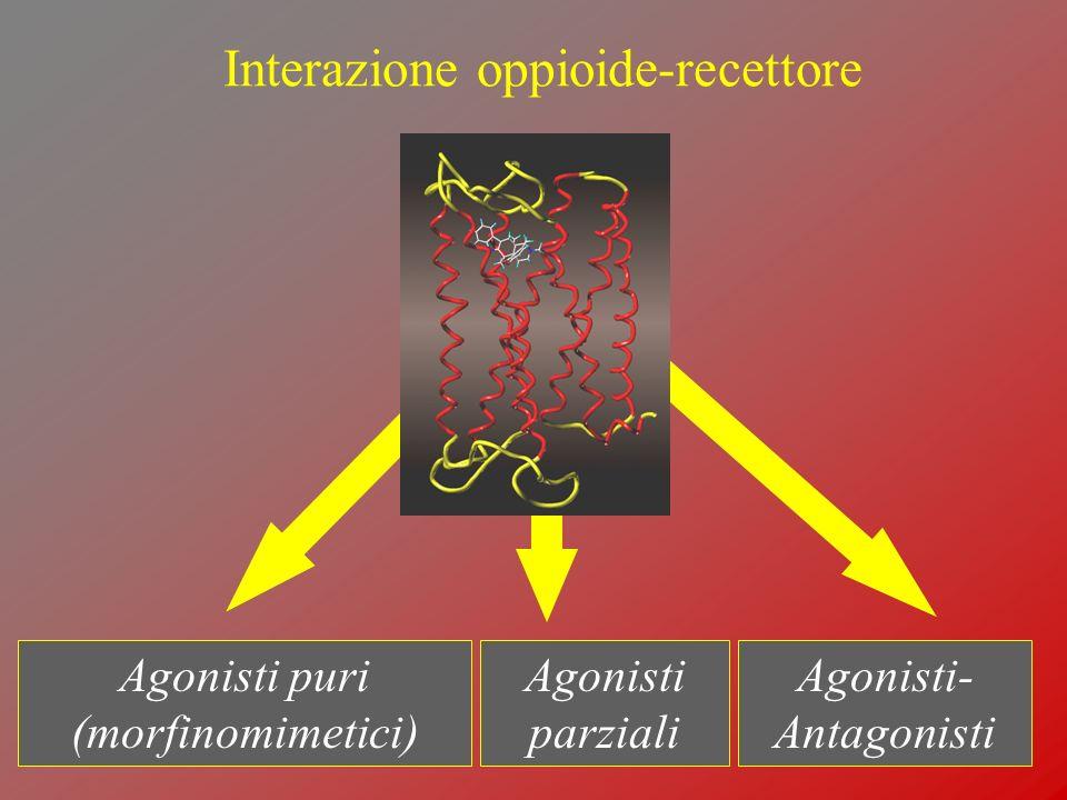 Interazione oppioide-recettore Agonisti puri (morfinomimetici) Agonisti parziali Agonisti- Antagonisti