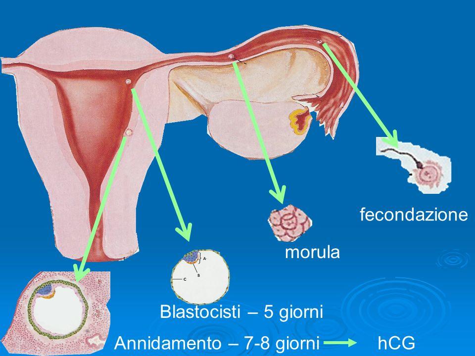fecondazione morula Blastocisti – 5 giorni Annidamento – 7-8 giorni hCG