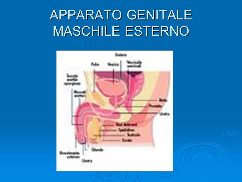 APPARATO GENITALE MASCHILE ESTERNO