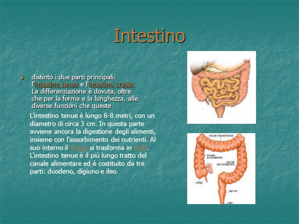 Pancreas Ha una forma allungata in senso trasversale e leggermente appiattita dall'avanti all'indietro, con l'estremità destra più voluminosa (testa d