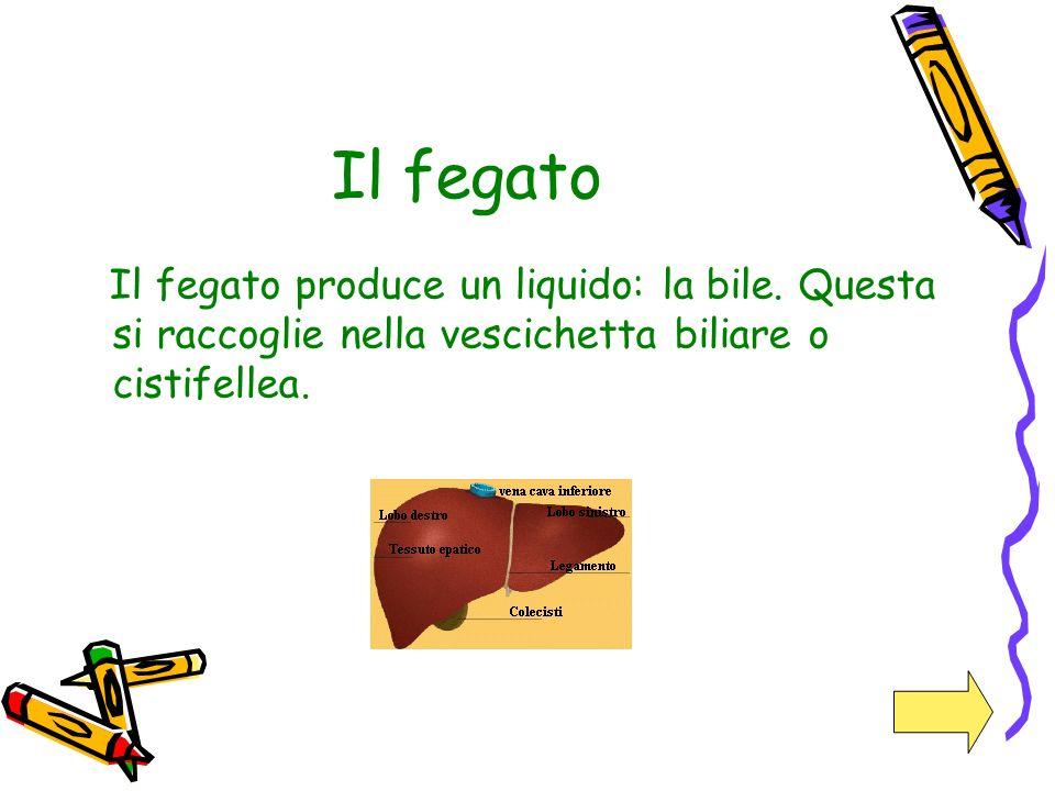 Il fegato Il fegato produce un liquido: la bile. Questa si raccoglie nella vescichetta biliare o cistifellea.