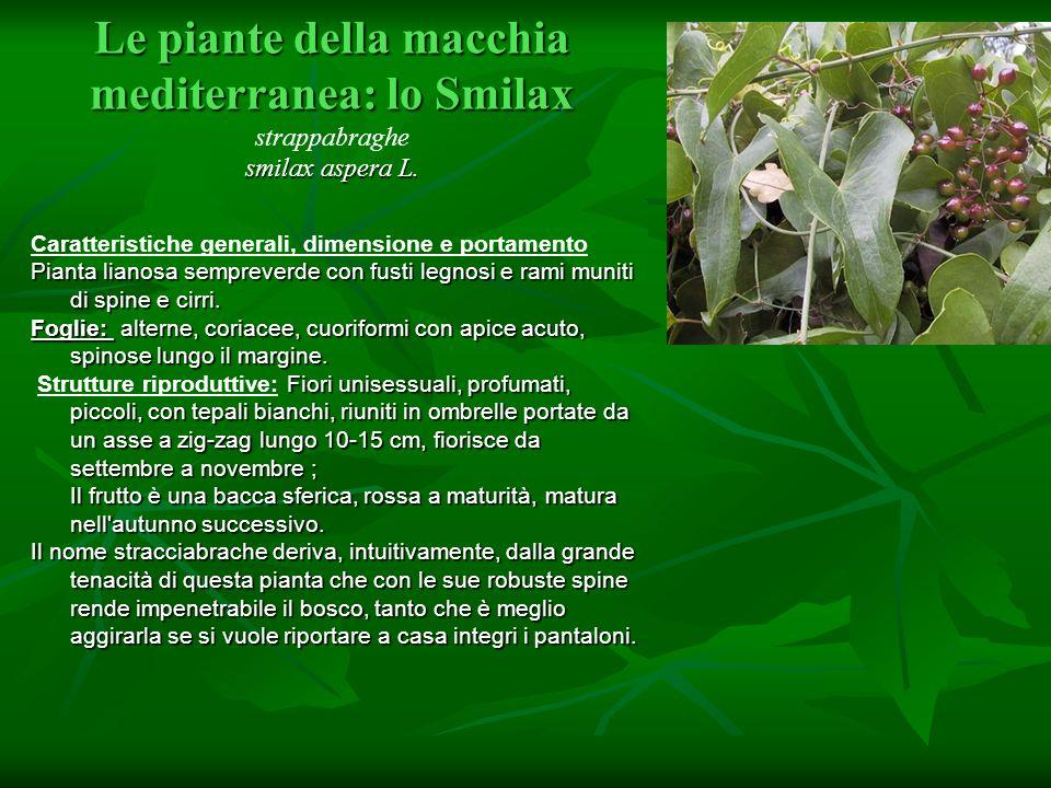 Le piante della macchia mediterranea: lo Smilax smilax aspera L. Le piante della macchia mediterranea: lo Smilax strappabraghe smilax aspera L. Caratt