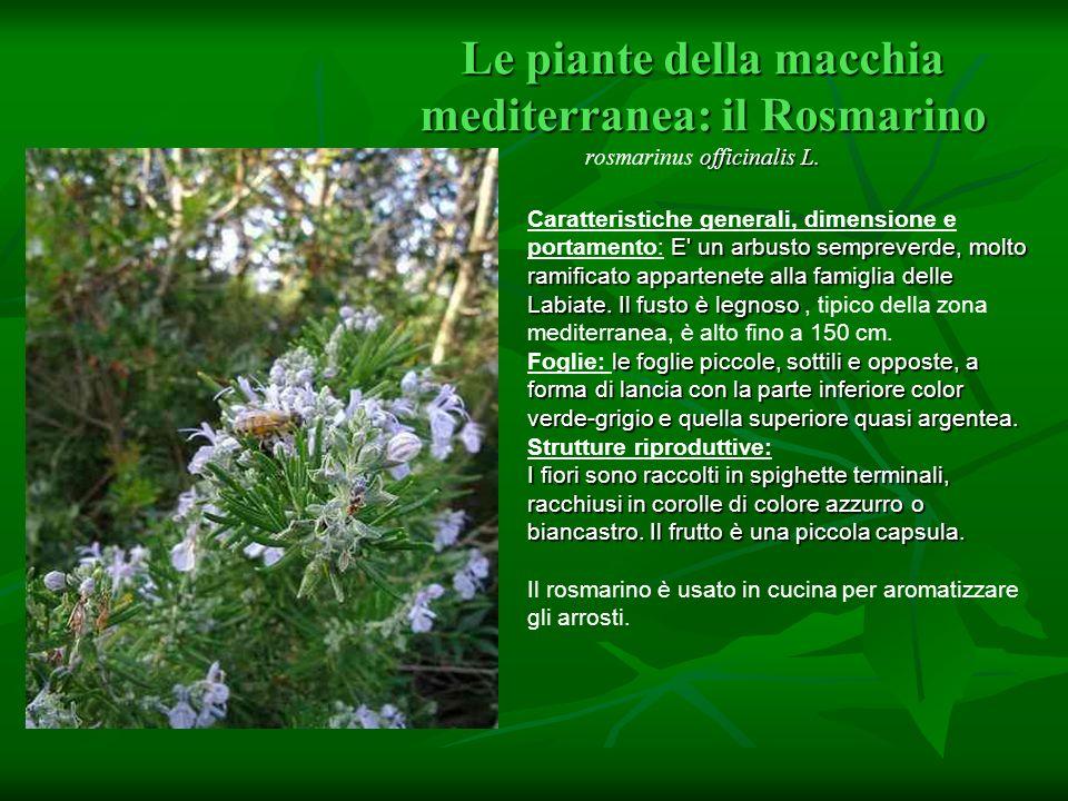 Le piante della macchia mediterranea: il Rosmarino officinalis L. Le piante della macchia mediterranea: il Rosmarino rosmarinus officinalis L. E' un a