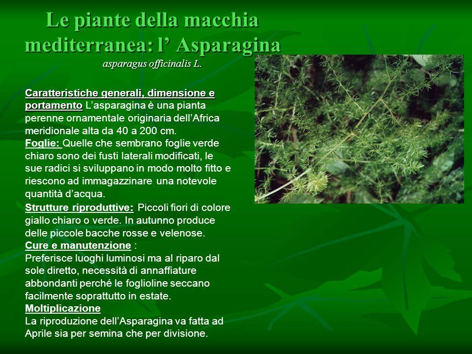 Le piante della macchia mediterranea: l Asparagina asparagus officinalis L. Caratteristiche generali, dimensione e portamento Caratteristiche generali