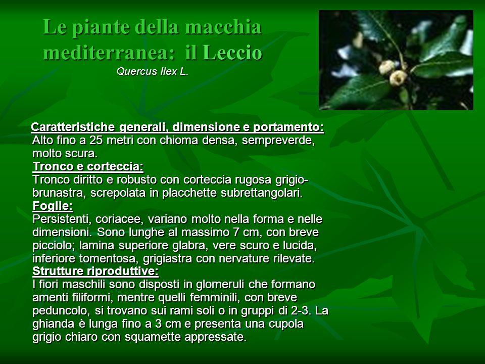Le piante della macchia mediterranea: il Leccio Quercus Ilex L. Caratteristiche generali, dimensione e portamento: Alto fino a 25 metri con chioma den