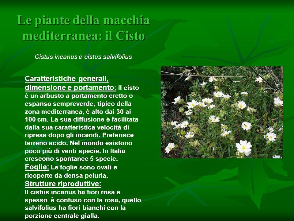 Le piante della macchia mediterranea: il Cisto Le piante della macchia mediterranea: il Cisto Cistus incanus e cistus salvifolius Caratteristiche gene