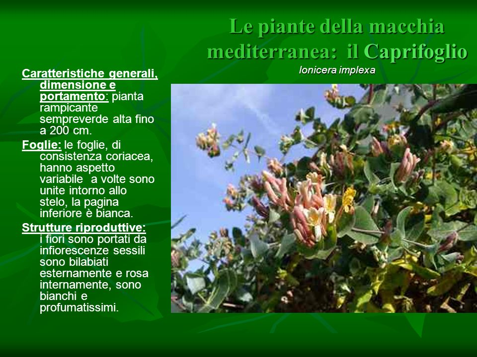 Le piante della macchia mediterranea: il Caprifoglio lonicera implexa Caratteristiche generali, dimensione e portamento: pianta rampicante sempreverde