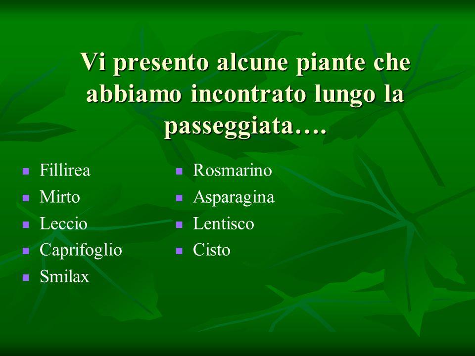 Le piante della macchia mediterranea: la Fillirea Le piante della macchia mediterranea: la Fillirea Ilatro comune o fillirea Phillyrea latifolia L.