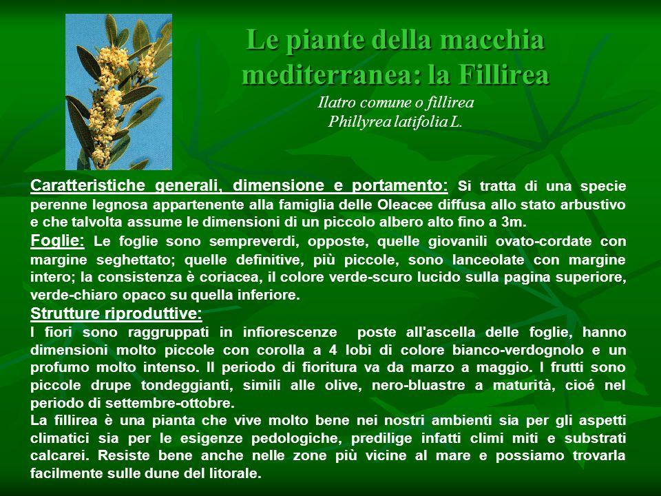 Le piante della macchia mediterranea: la Fillirea Le piante della macchia mediterranea: la Fillirea Ilatro comune o fillirea Phillyrea latifolia L. Ca