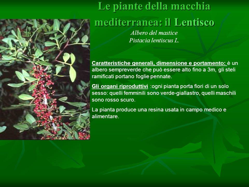 Le piante della macchia mediterranea: il Mirto Myrtus communis Caratteristiche generali, dimensione e portamento: Il mirto è un cespuglio a portamento eretto o espanso sempreverde, tipico della zona mediterranea, è alto dai 200 ai 250 cm.