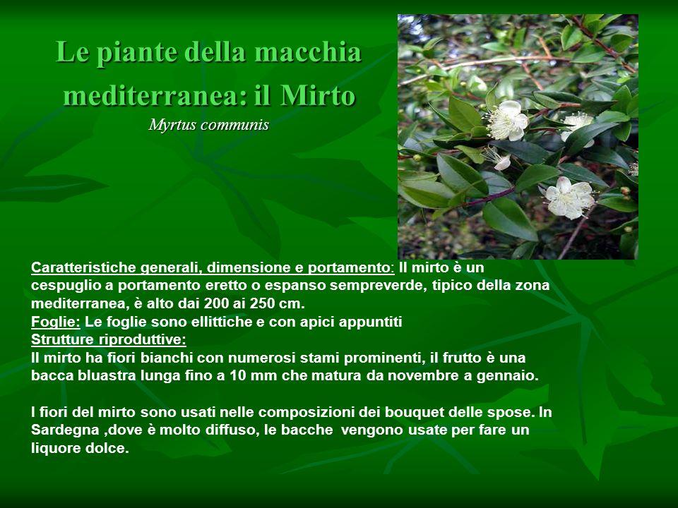Le piante della macchia mediterranea: il Mirto Myrtus communis Caratteristiche generali, dimensione e portamento: Il mirto è un cespuglio a portamento