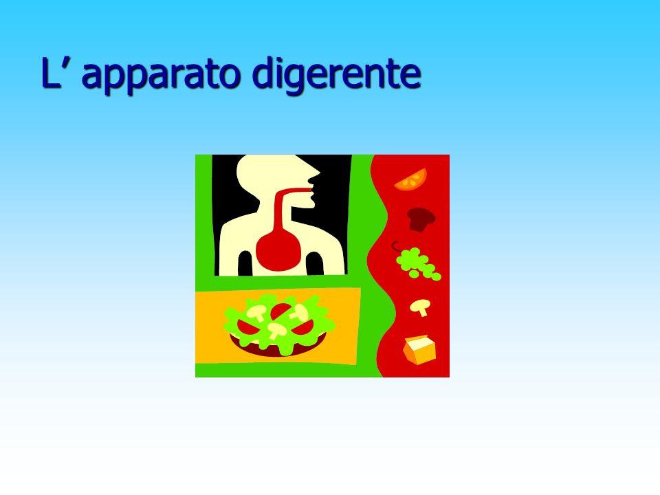 Il pancreas È situato dietro lo stomaco e produce nel duodeno il succo pancreatico ; inoltre versa nel sangue due ormoni : l insulina e il glucagone prodotto dalle isole langerhans.