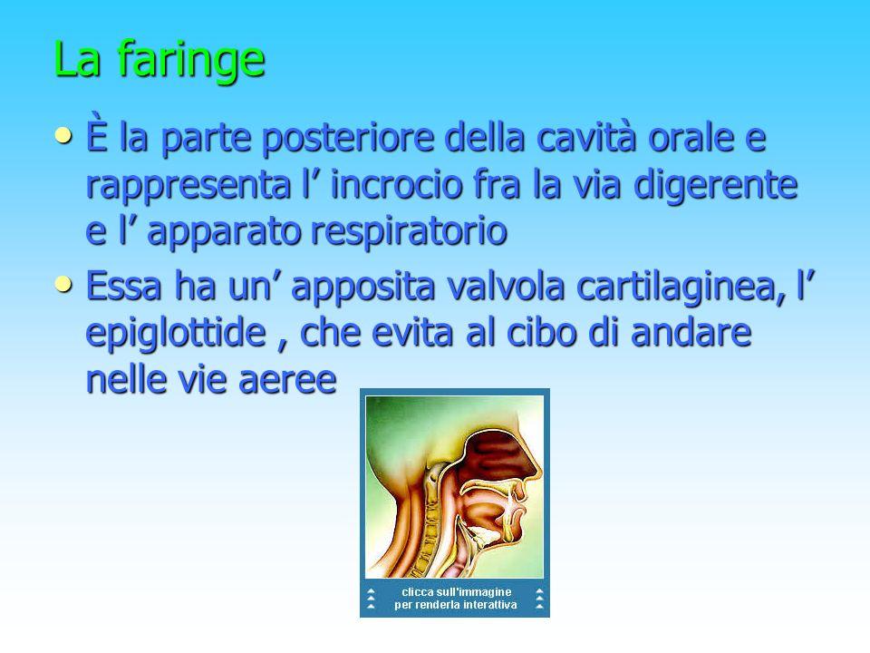 La faringe È la parte posteriore della cavità orale e rappresenta l incrocio fra la via digerente e l apparato respiratorio È la parte posteriore dell