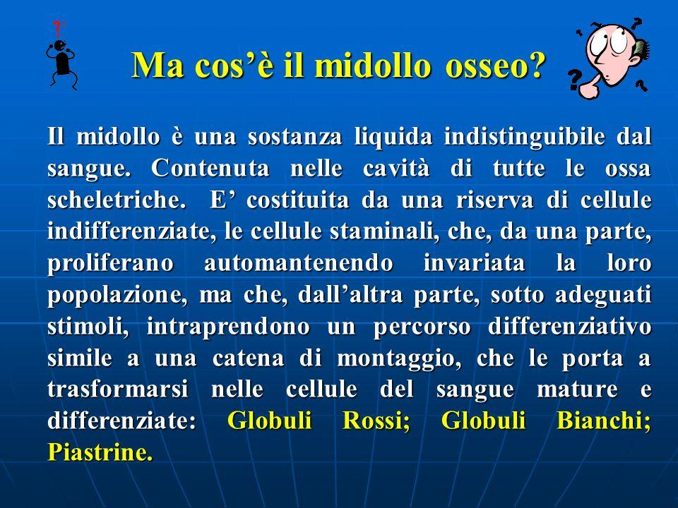 IL MIDOLLO OSSEO COMPARTIMENTO PROLIFERANTE CITOCHINE MICROAMBIENTE MIDOLLARE STIMOLI ESTERNI COMPARTIMENTO DIFFERENZIANTE