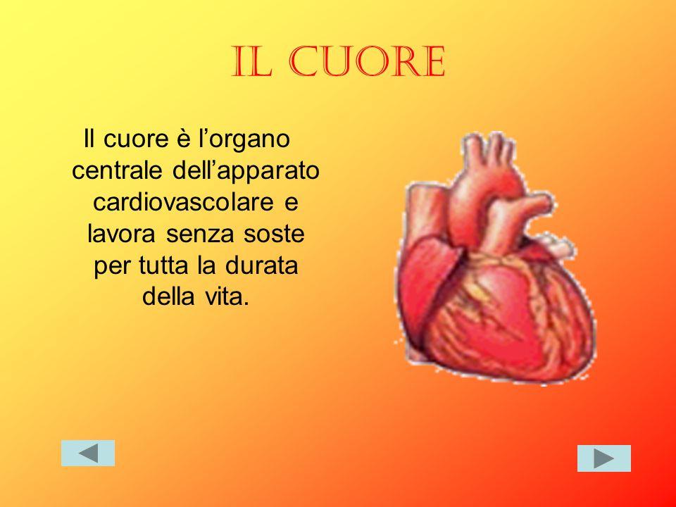 IL CUORE Il cuore è lorgano centrale dellapparato cardiovascolare e lavora senza soste per tutta la durata della vita.
