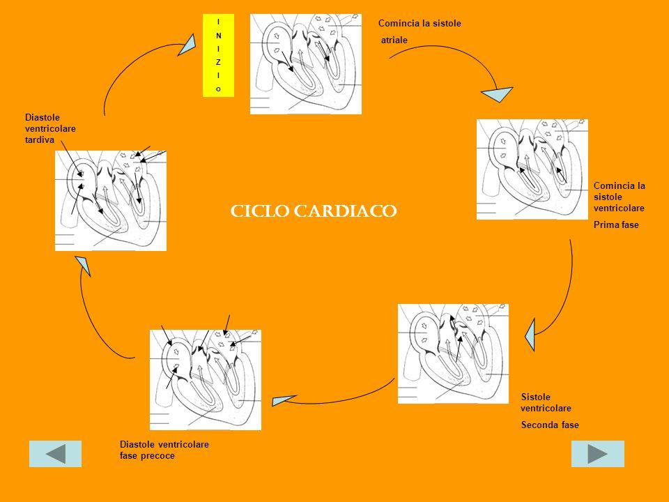 Comincia la sistole atriale Comincia la sistole ventricolare Prima fase Diastole ventricolare fase precoce Diastole ventricolare tardiva INIZIoINIZIo Sistole ventricolare Seconda fase Ciclo cardiaco