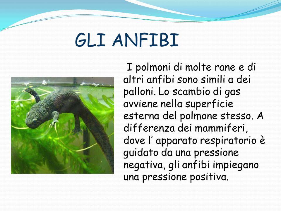 GLI ANFIBI I polmoni di molte rane e di altri anfibi sono simili a dei palloni. Lo scambio di gas avviene nella superficie esterna del polmone stesso.