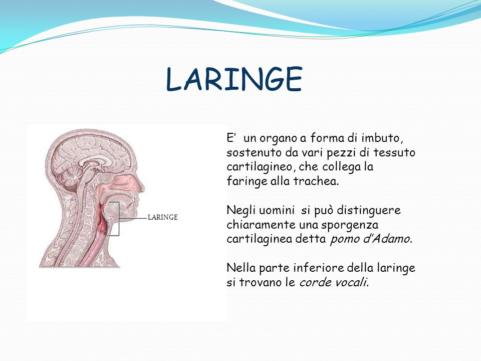 LARINGE E un organo a forma di imbuto, sostenuto da vari pezzi di tessuto cartilagineo, che collega la faringe alla trachea. Negli uomini si può disti