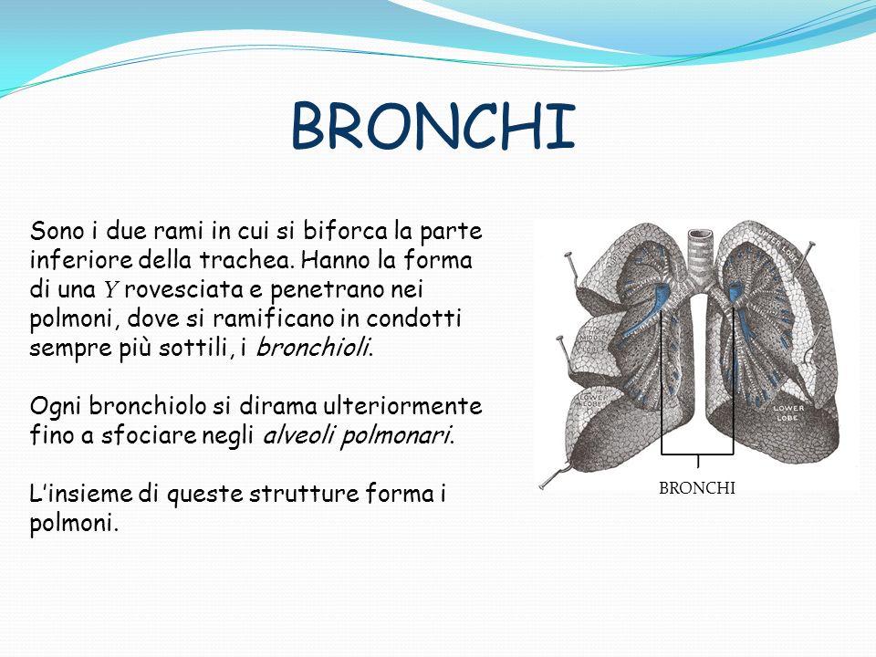 BRONCHI Sono i due rami in cui si biforca la parte inferiore della trachea. Hanno la forma di una Y rovesciata e penetrano nei polmoni, dove si ramifi