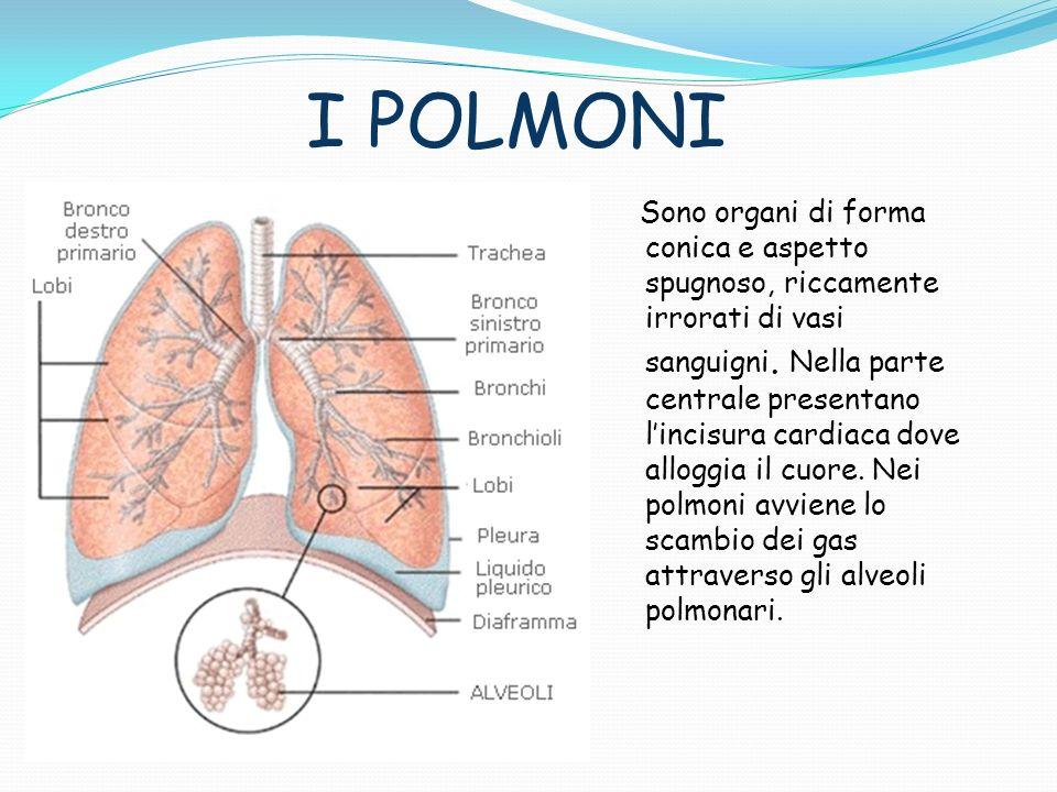 I POLMONI Sono organi di forma conica e aspetto spugnoso, riccamente irrorati di vasi sanguigni. Nella parte centrale presentano lincisura cardiaca do