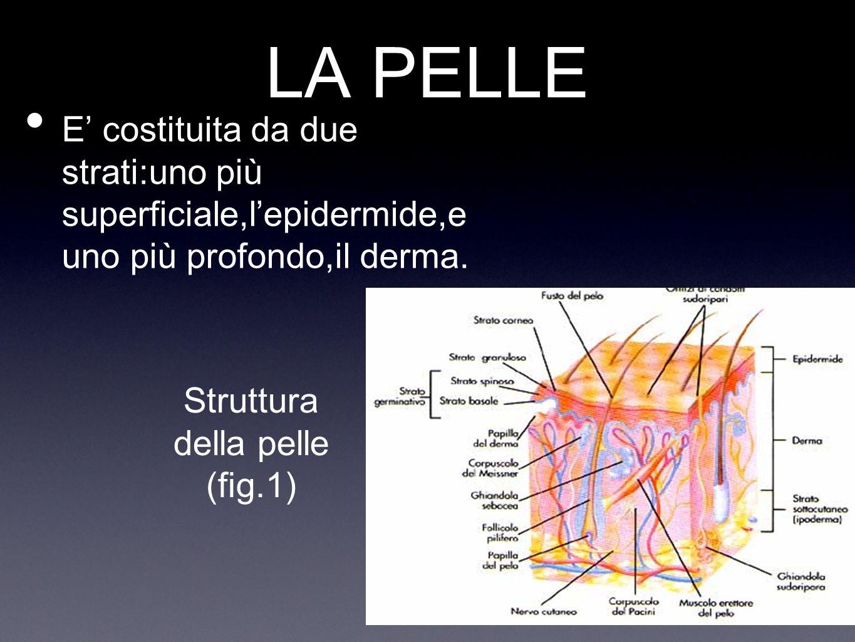 EPIDERMIDE E costituito dallo strato corneo,il più esterno che svolge le funzioni protettive ed impermeabilizzanti;lo strato più profondo,quello germinativo,dove si formano nuove cellule Strato corneo Strato germinativo