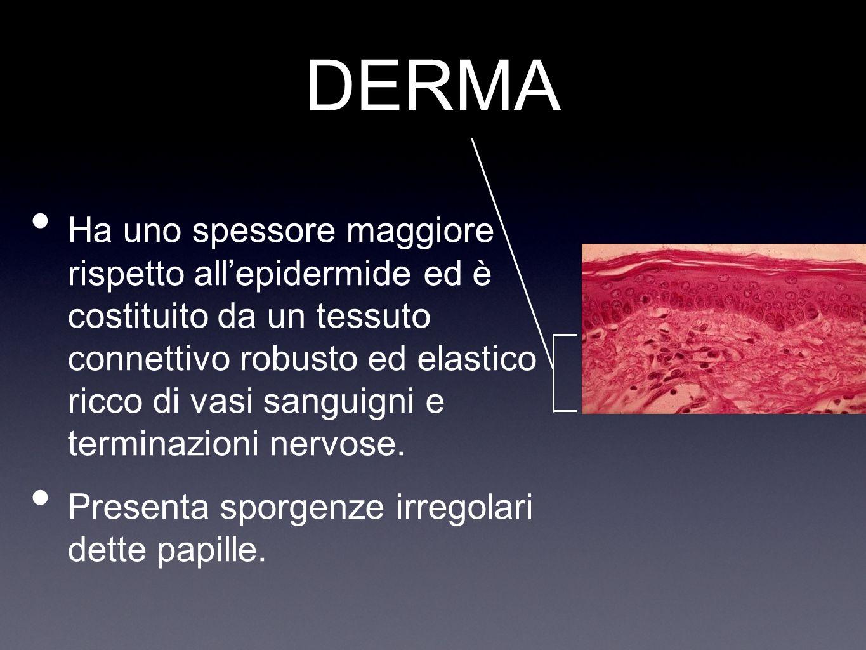 IPODERMA Al di sotto del derma cè un tessuto connettivo detto ipoderma o tessuto sottocutaneo,molto ricco di cellule adipose con funzione di riserva di grassi e di isolamento termico.