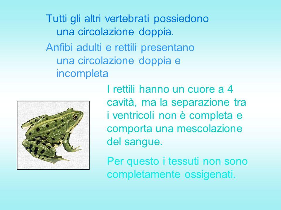 Tutti gli altri vertebrati possiedono una circolazione doppia. Anfibi adulti e rettili presentano una circolazione doppia e incompleta I rettili hanno