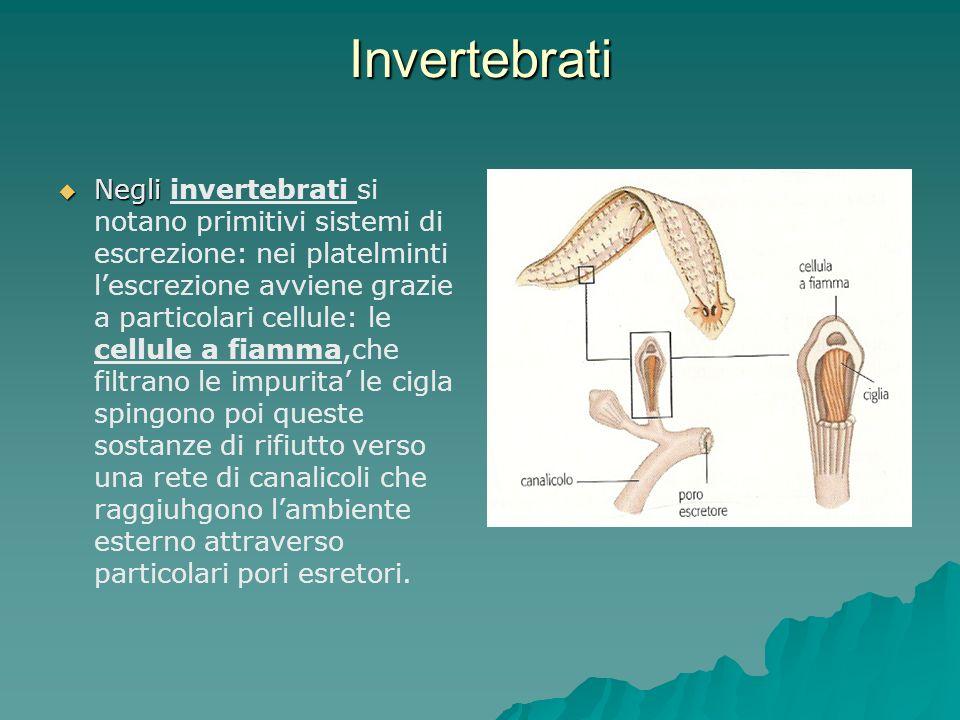 Invertebrati Negli Negli invertebrati si notano primitivi sistemi di escrezione: nei platelminti lescrezione avviene grazie a particolari cellule: le