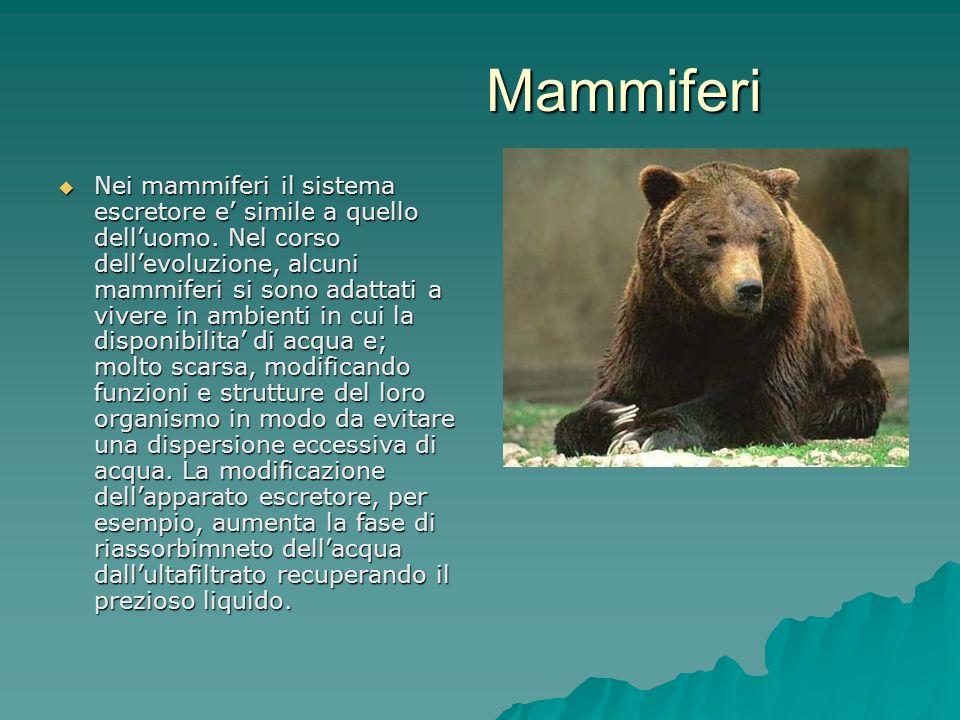 Mammiferi Nei mammiferi il sistema escretore e simile a quello delluomo. Nel corso dellevoluzione, alcuni mammiferi si sono adattati a vivere in ambie