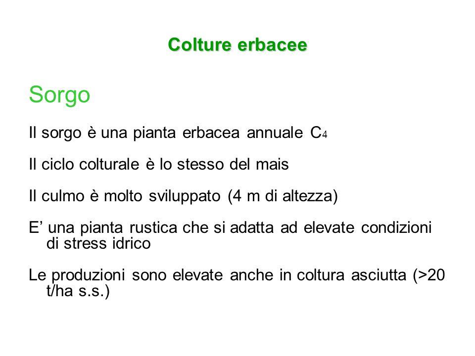 Colture erbacee Sorgo Il sorgo è una pianta erbacea annuale C 4 Il ciclo colturale è lo stesso del mais Il culmo è molto sviluppato (4 m di altezza) E