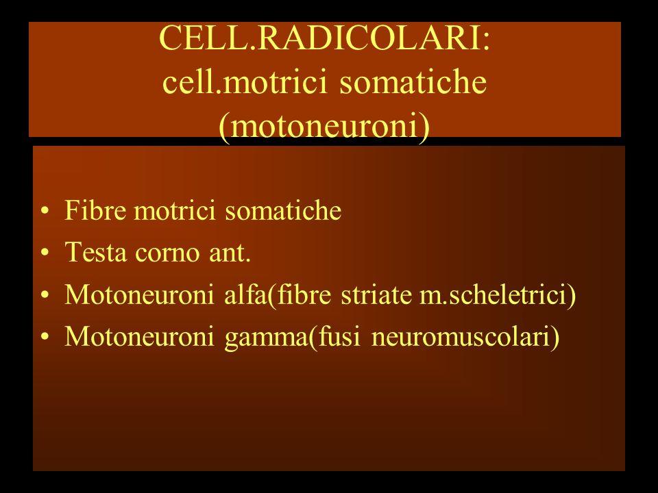 CELL.RADICOLARI: cell.motrici somatiche (motoneuroni) Fibre motrici somatiche Testa corno ant. Motoneuroni alfa(fibre striate m.scheletrici) Motoneuro