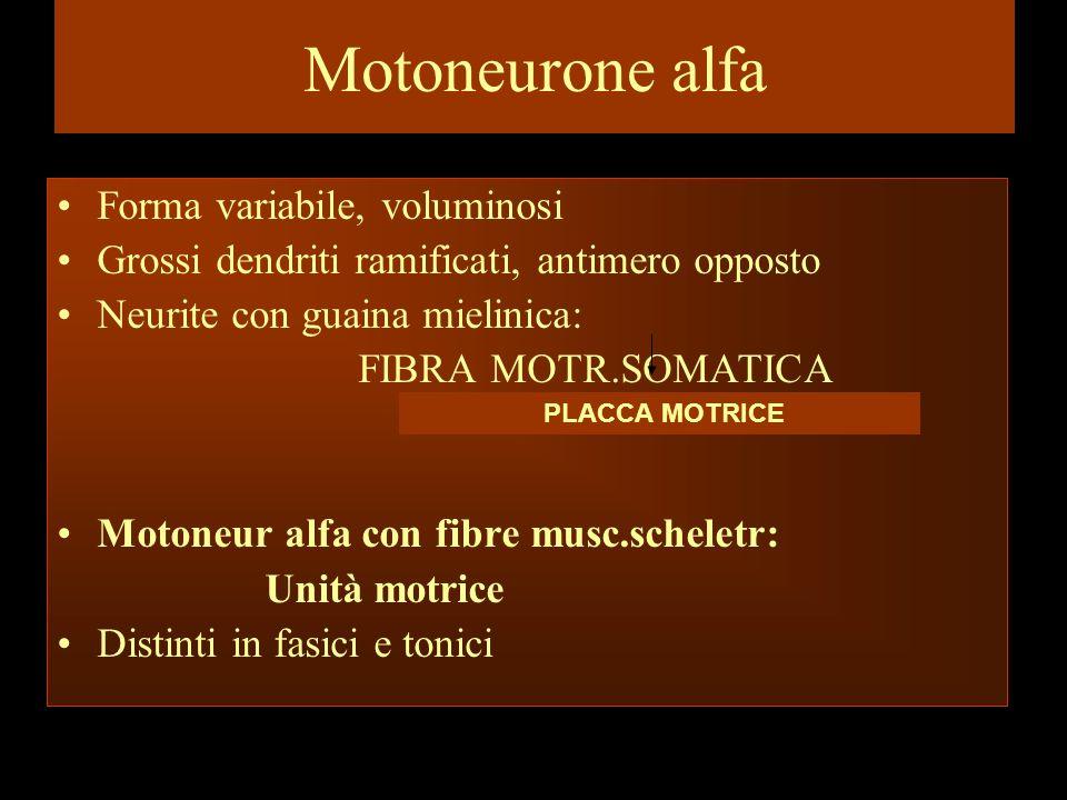 Motoneurone alfa Forma variabile, voluminosi Grossi dendriti ramificati, antimero opposto Neurite con guaina mielinica: FIBRA MOTR.SOMATICA Motoneur a