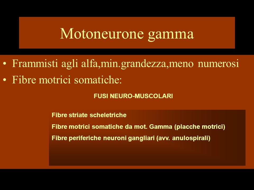Motoneurone gamma Frammisti agli alfa,min.grandezza,meno numerosi Fibre motrici somatiche: FUSI NEURO-MUSCOLARI Fibre striate scheletriche Fibre motri