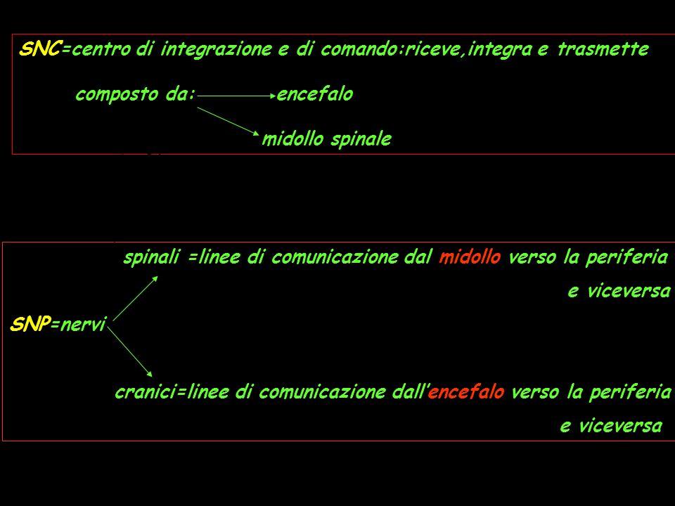 SNC=centro di integrazione e di comando:riceve,integra e trasmette composto da: encefalo midollo spinale spinali =linee di comunicazione dal midollo v
