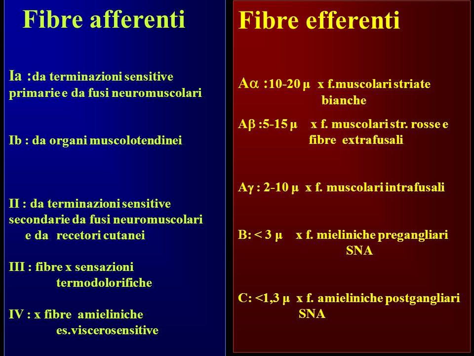 Fibre efferenti A : 10-20 μ x f.muscolari striate bianche A :5-15 μ x f. muscolari str. rosse e fibre extrafusali A : 2-10 μ x f. muscolari intrafusal