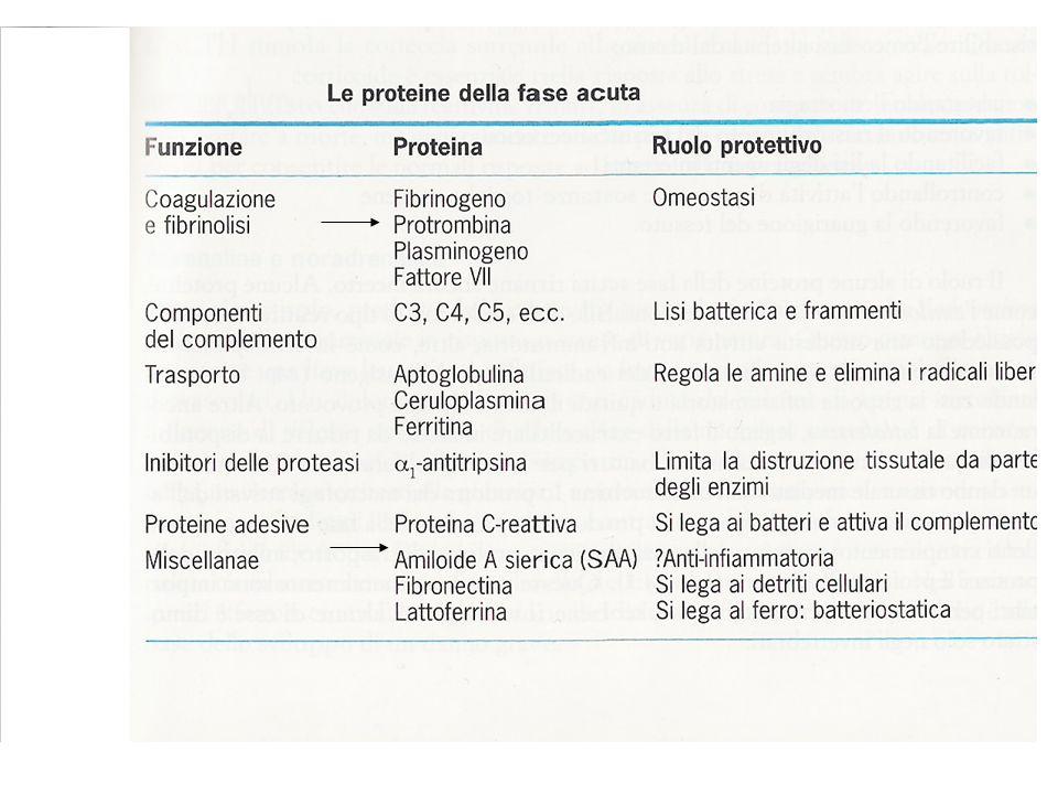 Numero leucociti aumenta fino a 15000/20000 cellule/mm3 LEUCOCITOSI Meccanismo per amplificare limmunità innata dovuto Fattori Chemotattici Produzione di fattori di crescita Reclutamento del pool dei leucociti marginati Agiscono a livello del midollo osseo aumentando la produzione di leucociti maturi e il loro rilascio in circolo IL-1 e TNF IL-6 GM-CSF IL-3 IL-5