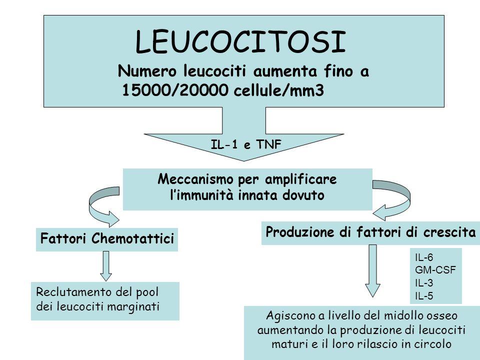 Numero leucociti aumenta fino a 15000/20000 cellule/mm3 LEUCOCITOSI Meccanismo per amplificare limmunità innata dovuto Fattori Chemotattici Produzione