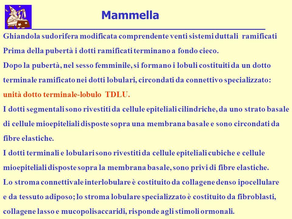 Mammella Ghiandola sudorifera modificata comprendente venti sistemi duttali ramificati Prima della pubertà i dotti ramificati terminano a fondo cieco.