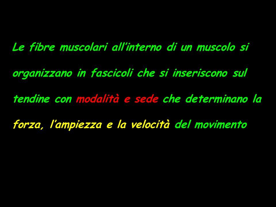 Le fibre muscolari allinterno di un muscolo si organizzano in fascicoli che si inseriscono sul tendine con modalità e sede che determinano la forza, lampiezza e la velocità del movimento