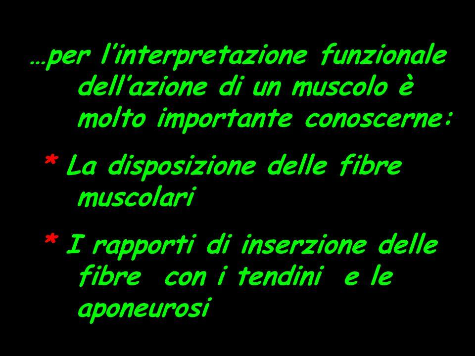 …per linterpretazione funzionale dellazione di un muscolo è molto importante conoscerne: * La disposizione delle fibre muscolari * I rapporti di inserzione delle fibre con i tendini e le aponeurosi