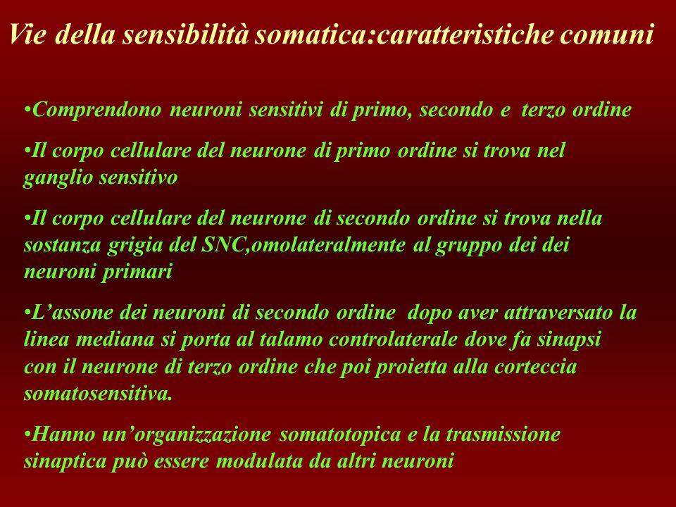 Vie della sensibilità somatica:caratteristiche comuni Comprendono neuroni sensitivi di primo, secondo e terzo ordine Il corpo cellulare del neurone di