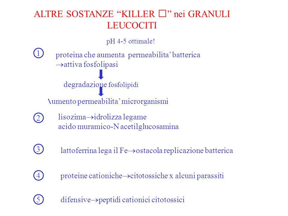 ALTRE SOSTANZE KILLER nei GRANULI LEUCOCITI pH 4-5 ottimale! proteina che aumenta permeabilita batterica attiva fosfolipasi degradazione fosfolipidi A