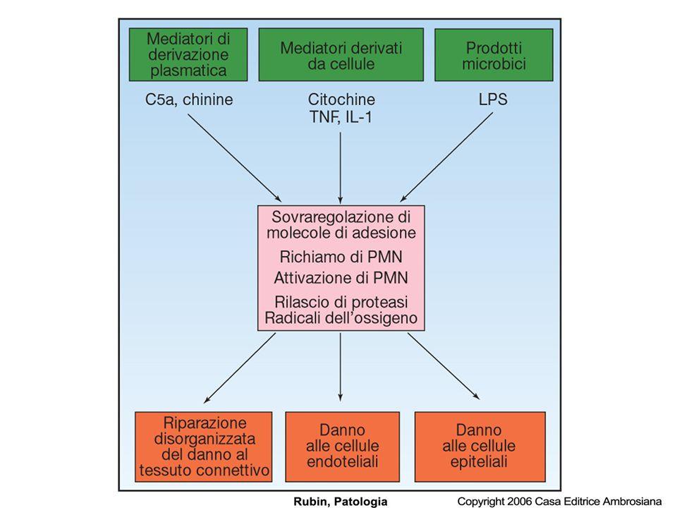 Fattori chemiotattici Mediatori esogeni: –N-formyl methionine,aminoacidi terminali da batteri –Lipidi da membrane distrutte o danneggiate ( LPS) Mediatori endogeni: –Proteine del complemento (C5a) –Chemochine, in particolare IL-8 –Prodotti dellacido arachidonico (LTB 4 )