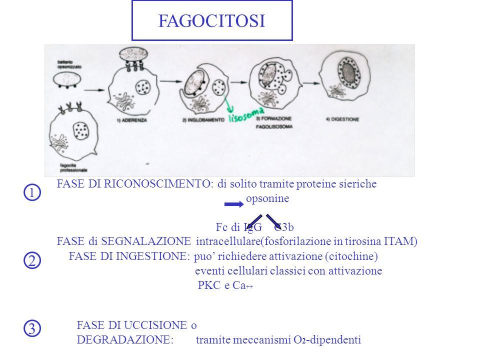 FAGOCITOSI FASE DI RICONOSCIMENTO: di solito tramite proteine sieriche opsonine Fc di IgG C3b FASE di SEGNALAZIONE intracellulare(fosforilazione in ti